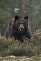 Blickkontakt... Europäischer Braunbär * Ursus arctos *