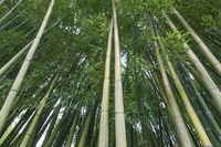 Allee mit frischem grünen Bambus