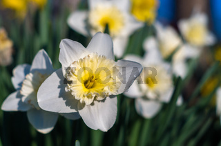 Daffodils flower in the morning sunlight. White daffodil (Narcissus)on green background. A spring fl