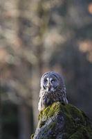 Bartkauz, Strix nebulosa, great grey owl