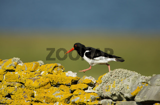 Eurasian oystercatcher walking on a stone fence
