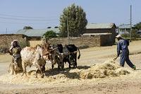 Traditionelles Dreschen von Teff Getreide (Eragrostis tef), Tigray, Äthiopien