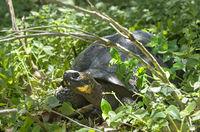 Galapagos-Riesenschildkröte (Chelonoidis nigra ssp), Insel Santa Cruz, Galapagos Inseln, Ecuador