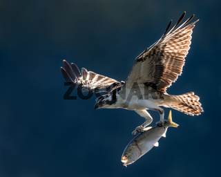Osprey in Flight With Catch VI