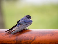 Smoke swallow is resting on a pole