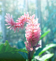 alpine purple flower(Alpinia purpurata)