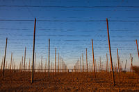 The hops plantation in the spring at sunset.