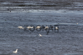 Eurasian or common spoonbill in nature, Island Texel, Holland