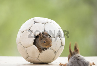 red squirrel standing in an football