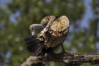 Indian vulture, Gyps indicus, Bandhavgarh national park, Madhya Pradesh, India.