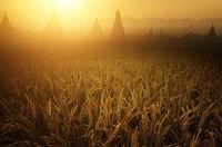Paddy rice fields in sunrise