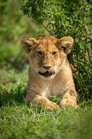 Lion cub lies by bush facing camera