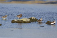 curlew sandpiper standing on a rock on a river bank, surrounded by other species of waders
