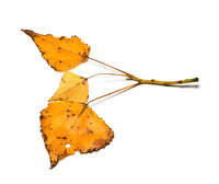 Poplar twig with yellow autumn spotted leaves