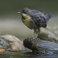hoch oben auf dem Stein... Wasseramsel *Cinclus cinclus*, flügger Jungvogel