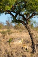 Leopard in tree defending the remains of his kill against a hyena