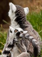 Katta (Lemur catta)