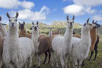 Lamas in Norwegen