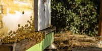 Bees swarming in to the hive on a sunny day