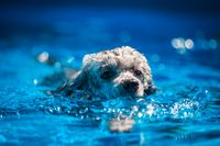 Cute grey poodle toy swimming in the pool in the summer day.