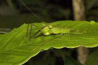 Bush katydid, Phaneropteridae, Aarey milk colony Mumbai