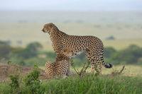Two Cheetahs on a mount, Maasai Mara, Kenya, Africa.