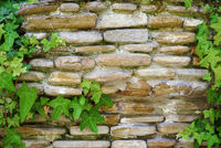 Brick stone wall covered by ivy (texture, background)