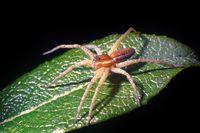Wolf spider (Lycosidae) on green leaf