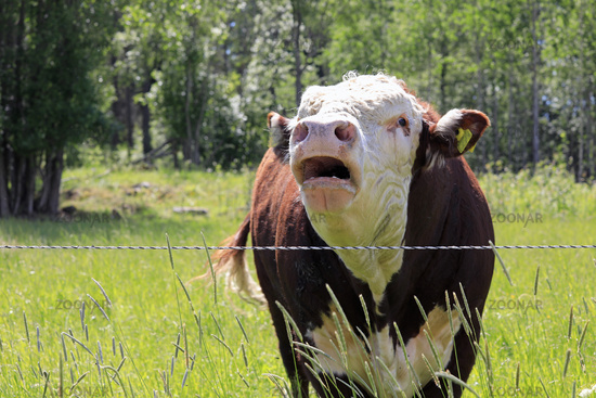 Angry Bull Bellowing