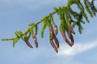 resinous pine cones on slim branch