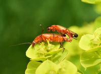 Roter Weichkaefer; Rhagonycha fulva