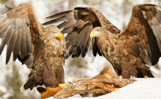 Two White-tailed eagles fighting while feeding
