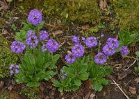 Kugel-Primel, Primula denticulata, Himalayan primrose