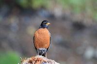 American Robin (Turdus migratorius) Canada