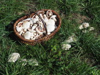 Pilzkörb mit Wiesenchampignons