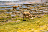 Adult Vicunas and baby grazing at the shore of Canapa lake