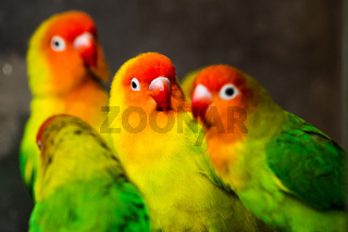 Beautiful parrots, Sun Conure on tree branch.