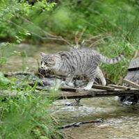 Katze läuft über Steg