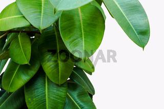 Green leaf isolated background houseplant design