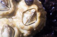 shellback (Balanus) on algae at low tide. Macro