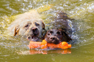 Two labradors with toy swimming in water