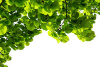 Green linden branch leaves isolated on white background. Nature background. Organic concept