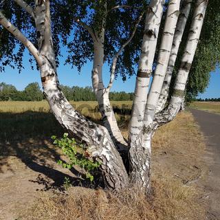 Hängebirke mit mehreren Stämmen, Betula pendula