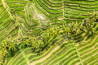 Drone view of Jatiluwih rice terraces and plantation in Bali, Indonesia, with palm trees and paths.