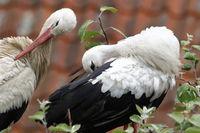 Weißstorch,Altvögel bei mder Gefiederpflege