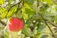 Red apples on an Apple tree branch in the garden