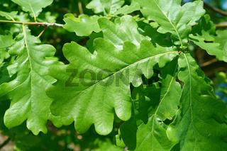 Blätter einer Stieleiche (Quercus robur)