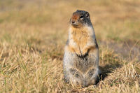Columbia Ground Squirrel, Urocitellus columbianus