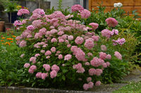Hydrangea paniculata, Rispen-Hortensie, Panicled Hydrangea