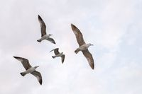 Seagull flock on blue sky background. Seagulls flying in sky. Flock of seagulls in sky